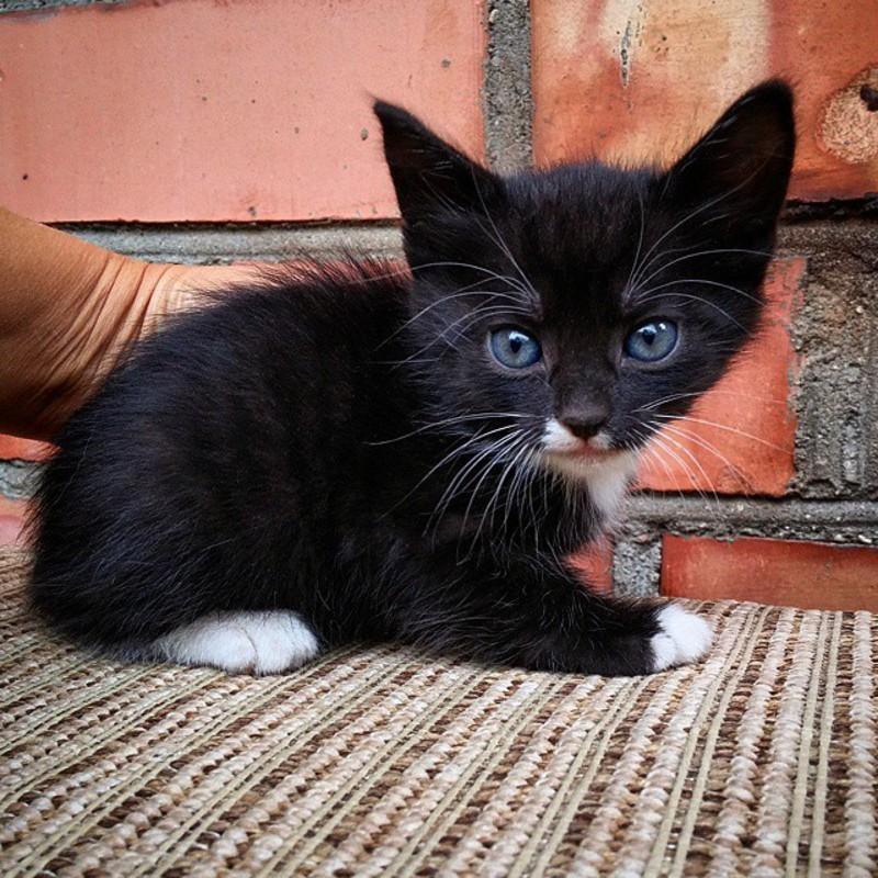 Кот с белыми лапами черный