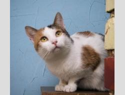 Трёхцветная кошка в дар,Минск