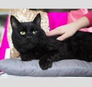 Черный кот Борис