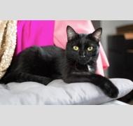 черная с белым кошка Ночка лежит на подушке