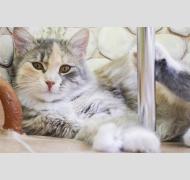 Нежная кошечка Маруся, пушинка - акварелька