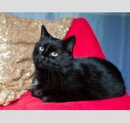 черная кошка Уля