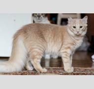 Котик Умняш - рыжий красавец с пушистым хвостом