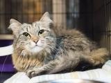Пуся - пушистая кошка,лежит и смотрит в камеру