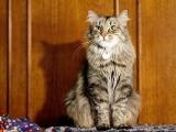 Пуся - пушистая кошка, сидит