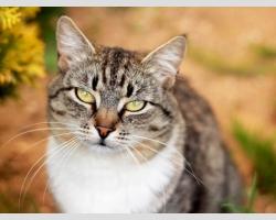 Кошка Маруся лесная с белой манишкой смотрит