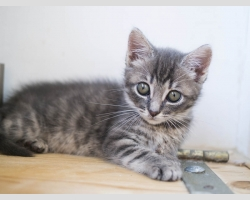 серый полосатый котенок девочка 2.5 мес в дар