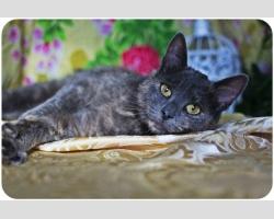 Бесплатно - кошка Чесси эксклюзивного окраса темный дым с рыжим