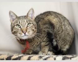Мишка ласковый самостоятельный кот в дар