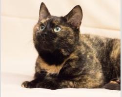 Трехцветная молодая кошка Нора в дар.