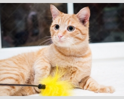 Рыжий крупный кот в дар