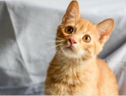 рыжий котенок Балу