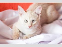 Бельчонок, котенок- подросток персикового окраса в дар