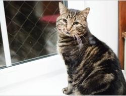 Джастин- молодой, добрый кот с красивыми полосками в добрые руки