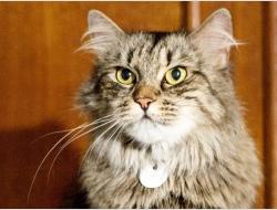 Пуся - пушистая кошка
