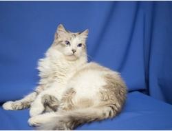 Кошка Люся - шикарная красавица в дар