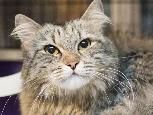 Пуся - пушистая кошка, портрет