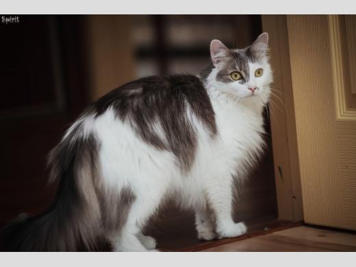 пушистая кошка Алиса стоит