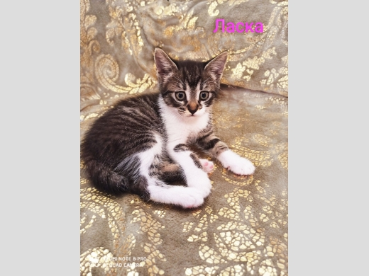 котенок Ласка