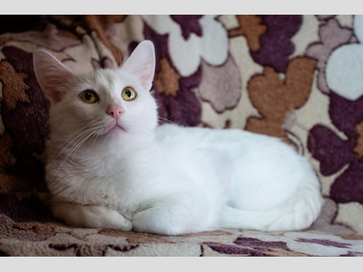Белоснежная кошка Бланш в дар