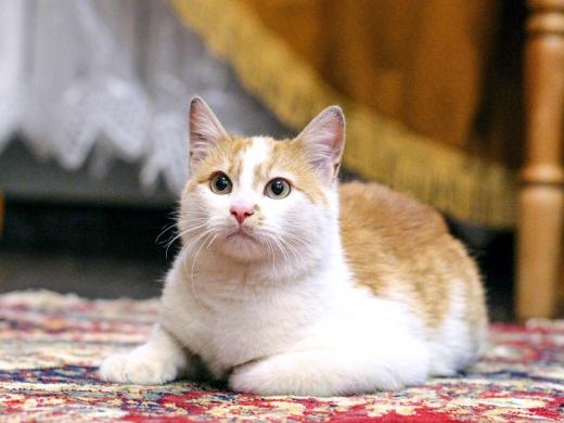 1 котенок Веснушкин в дар в добрые руки